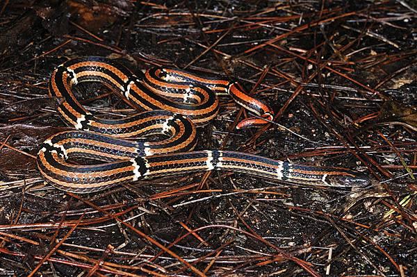 看到長這個樣子的蛇就直覺牠應該很稀有XD