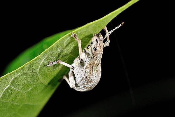 可愛的某種白色象鼻蟲