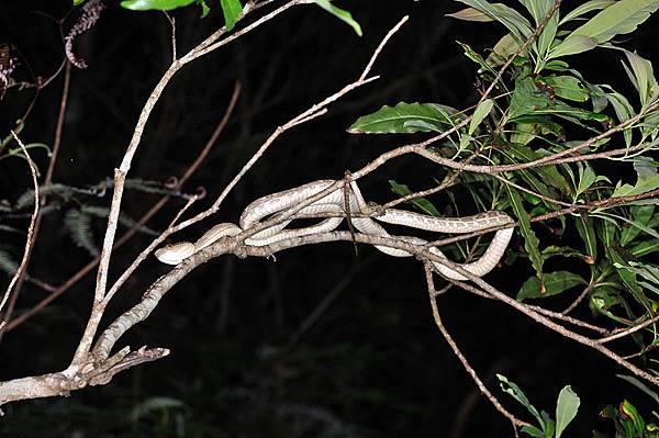 黃綠龜殼花(ハブ,波布,Protobothrops flavoviridis)