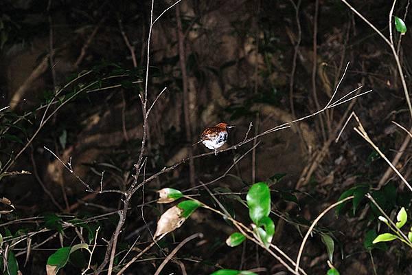 琉球歌鴝(Erithacus komadori)