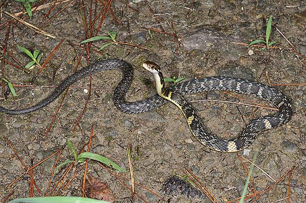 沖繩腹鏈蛇