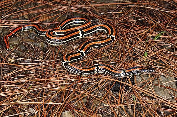 日本華珊瑚蛇沖繩亞種