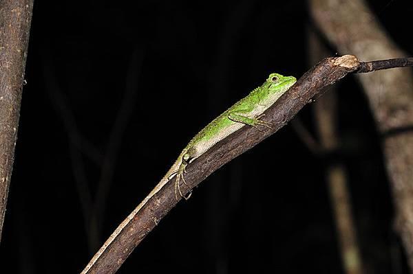 多稜攀蜥指名亞種(Japalura polygonata polygonata)