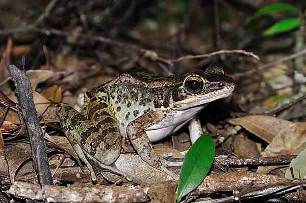 奄美臭蛙(奄美鼻先蛙,Odorrana amamiensis)