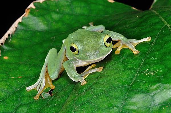 奄美樹蛙(奄美青蛙,Rhacophorus viridis amamiensis)