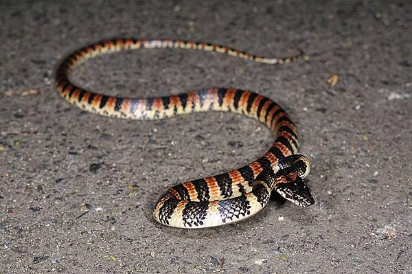 琉球紅斑蛇