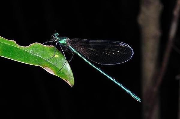 琉球羽黒蜻蛉
