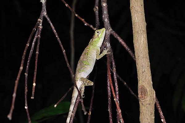 奄美大島的多稜攀蜥,真的很難找!