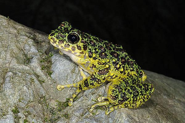 奄美石川氏臭蛙(奄美石川蛙,アマミイシカワガエル,Odorrana splendida)