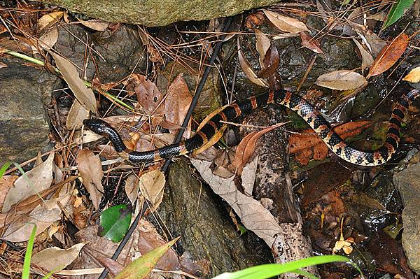在溪邊覓食的琉球紅斑蛇