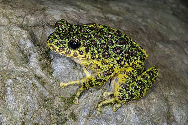奄美石川蛙