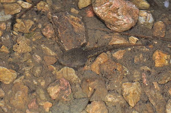 隆背蛙蝌蚪