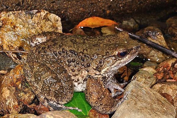 隆背蛙(オットン蛙,Babina subaspera)