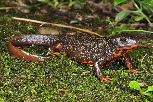 另一隻劍尾蠑螈