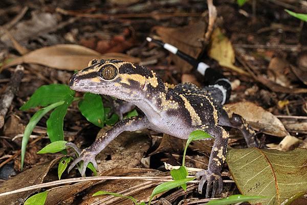 是黑岩氏瞼虎五個亞種之中最早分化出來的