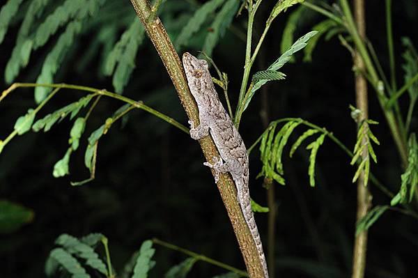 鉛山壁虎(Gekko hokouensis)
