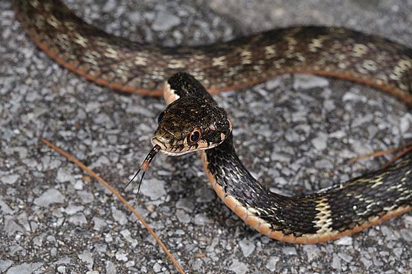 久米島的沖繩腹鏈蛇