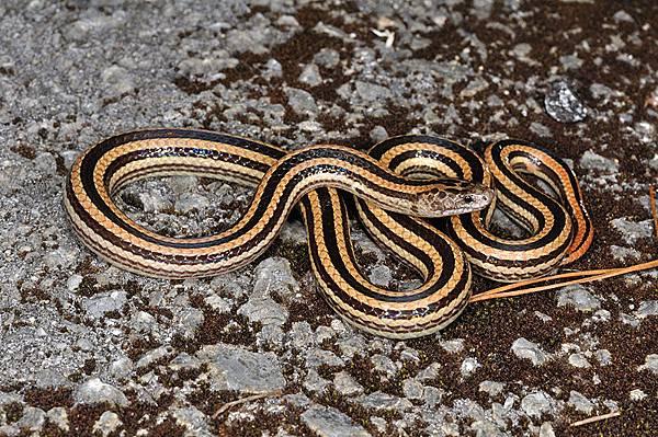 日本華珊瑚蛇久米亞種(Sinomicrurus japonicus takarai)