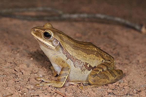 白頷樹蛙(Polypedates leucomystax)