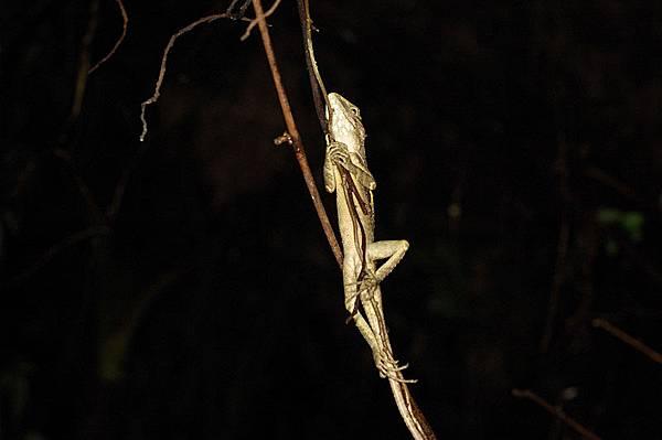 可憐的地頭蛇:斯文豪氏攀蜥(Japalura swinhonis)