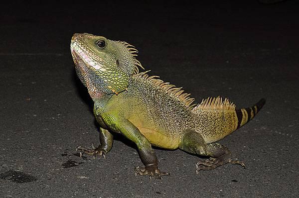 超帥氣的鬣鱗!就取名叫做「綠龍龍」好了XD