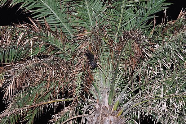 台灣狐蝠(Pteropus dasymallus formosus)