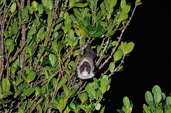 琉球狐蝠大東亞種(Pteropus dasymallus daitoensis,ダイトウオオコウモリ)