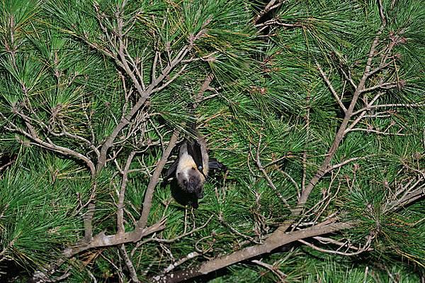 大東狐蝠(Pteropus dasymallus daitoensis,ダイトウオオコウモリ)