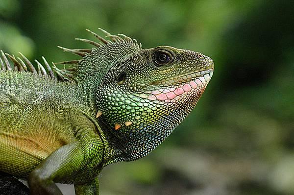 綠水龍(Physignathus cocincinus)