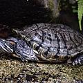 紅耳龜(巴西龜,Trachemys scripta elegans)
