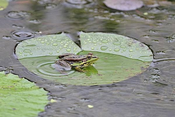 金線蛙(Rana plancyi)