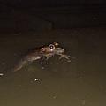 牛蛙(Rana catesbeiana)