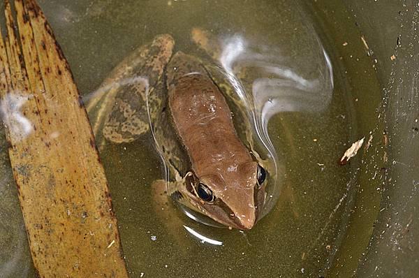 貢德氏赤蛙(Rana guentheri)