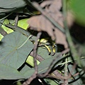 綠鬣蜥(Iguana iguana)