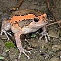 花狹口蛙(Kaloula pulchra)