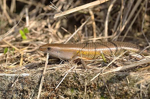 多線真稜蜥(Eutropis multifasciata)
