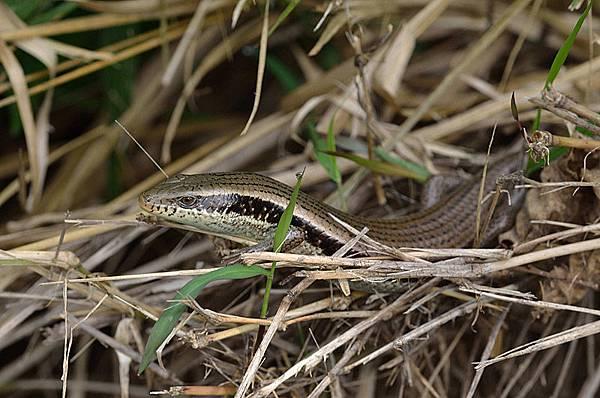 長尾真稜蜥(Eutropis longicaudata)