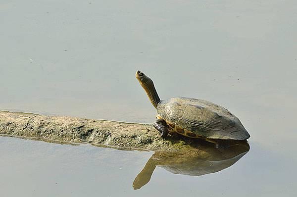 斑龜(Mauremys sinensis)