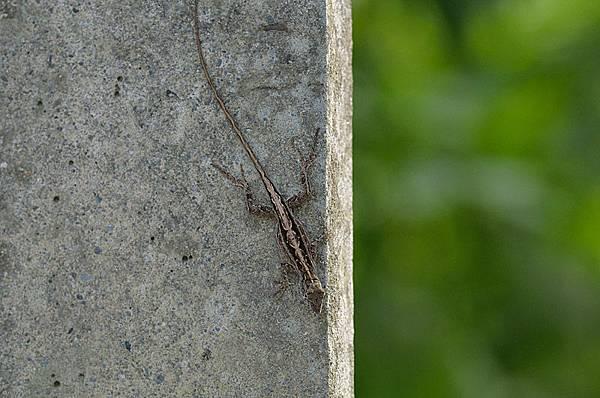 沙氏變色蜥(Anolis sagrei)