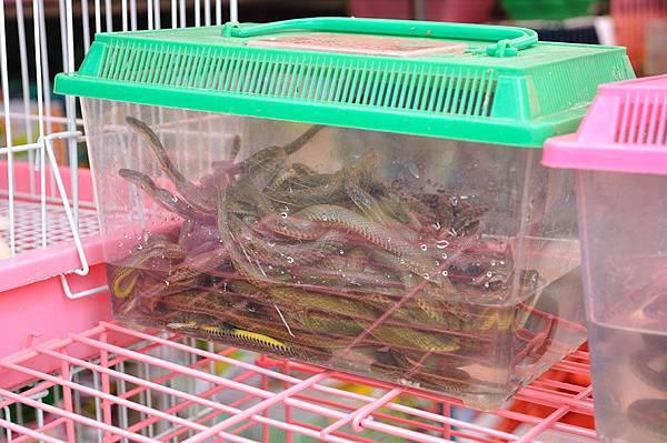 八線腹鏈蛇(Amphiesma octolineata)