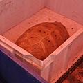 黃頭陸龜(緬甸陸龜,Indotestudo elongeta)