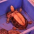 鋸緣箱龜(Pyxidea mouhotii)