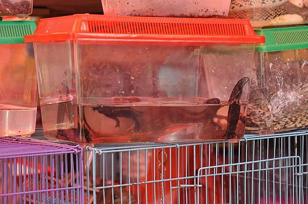 貴州疣螈(Tylototriton kweichowensis)