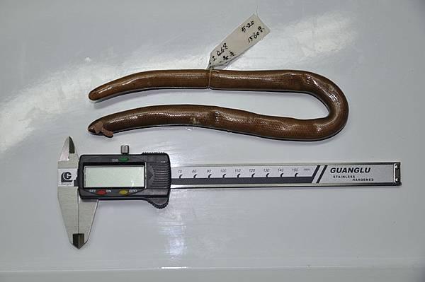 大盲蛇(Typhlops diardii)