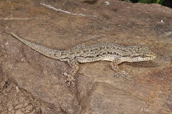 無疣蝎虎(Hemidactylus bowringii)