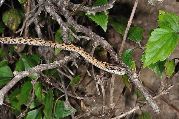 繁花林蛇(Boiga multomaculata)