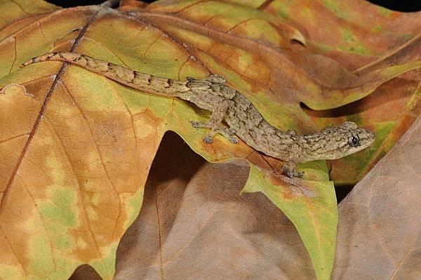雲南半葉趾虎(Hemiphyllodactylus yunnanensis)