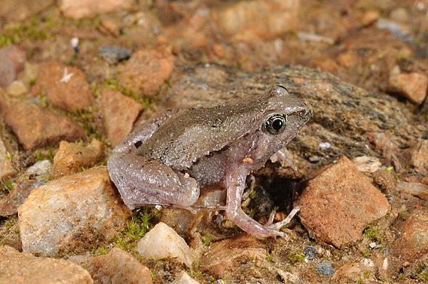 飾紋姬蛙(Microhyla fissipes)