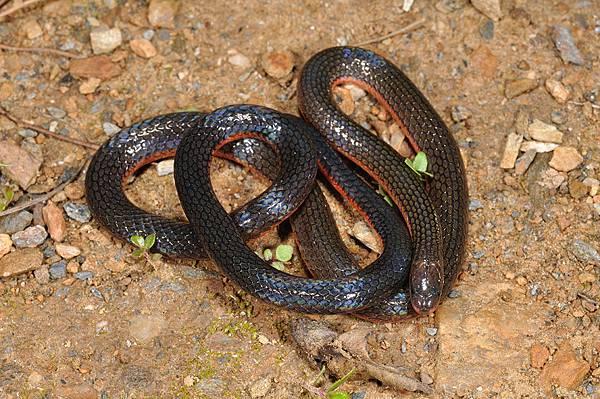 鐵線蛇(尖尾兩頭蛇,Calamaria pavimentata)