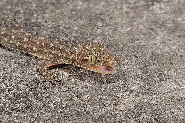 鋸尾蝎虎(Hemidactylus garnotii)